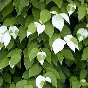 An example of a silver vine with its trademark white leaf pattern
