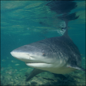 A close up photograph of a bull shark in brackish water