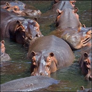 A herd of hippos in a river
