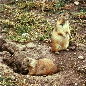Two prairie dogs at the opening of their burrow.