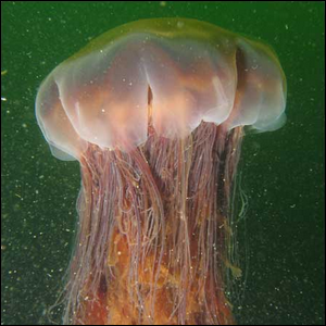 The Largest Jellyfish Species In The World Is The