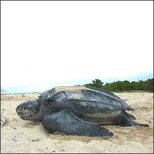 The Largest Living Turtle Species Is The?