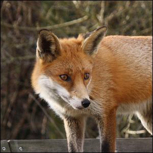 Common red fox