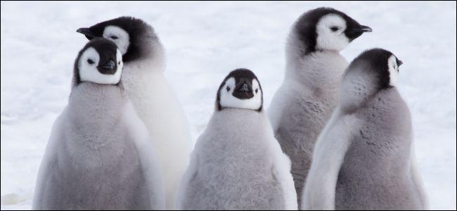 Emperor penguin chicks in the snow