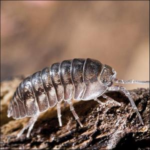 A pill bug on a piece of bark