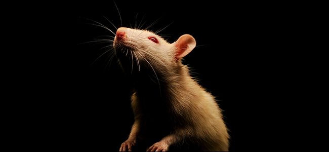 A spooky white rat on a black background