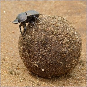 Large dung beetle atop it's dung ball