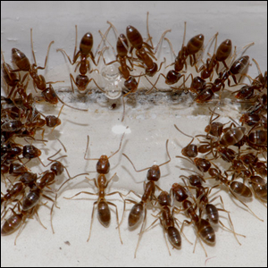 Argentine ants drinking sugar water