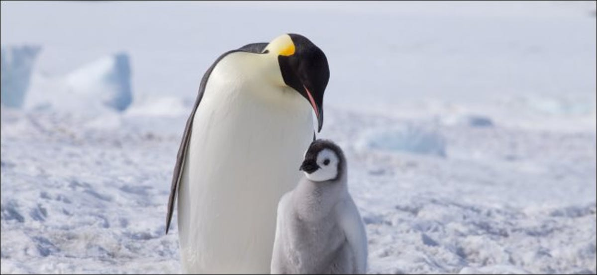 An adult emperor penguin and a chick.