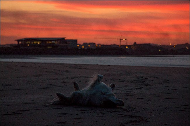 A dog rolling in sand on the beach.