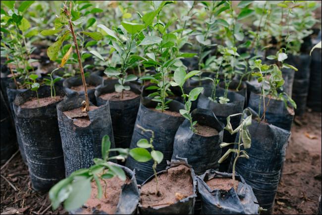 Sadzonki gotowe do sadzenia