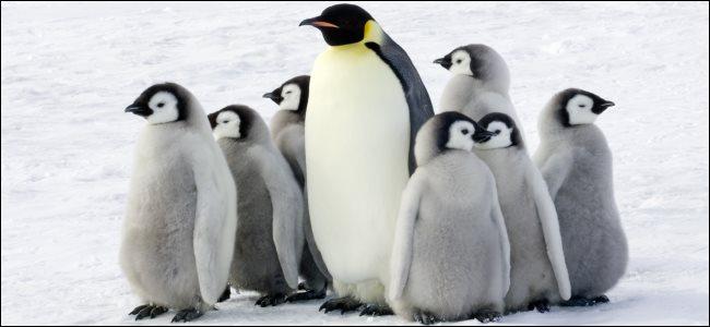 An emperor penguin with children in the Antarctic.