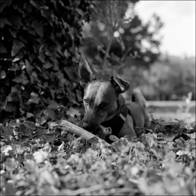 A black and white portrait of a young dog.