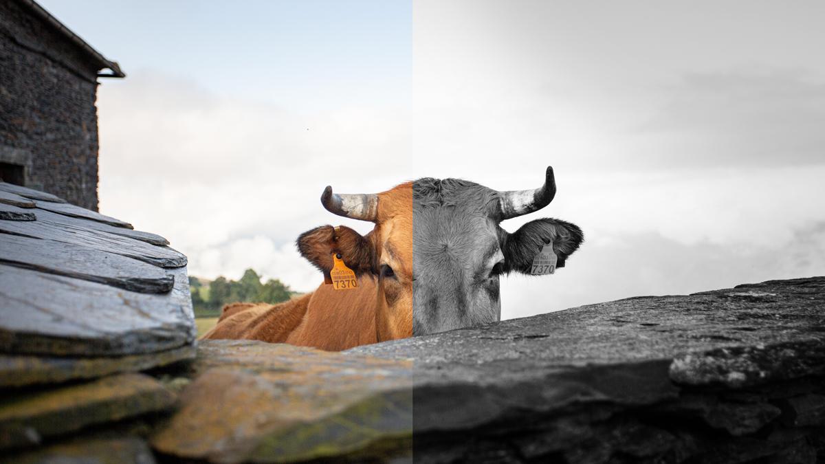 Un filtro applicato a metà all'immagine di una mucca