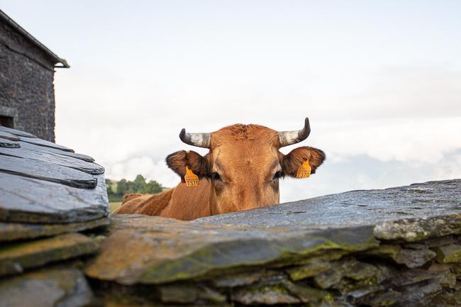 flat cow photo