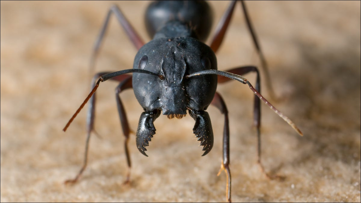 Closeup image of a big black ant with jaws open.