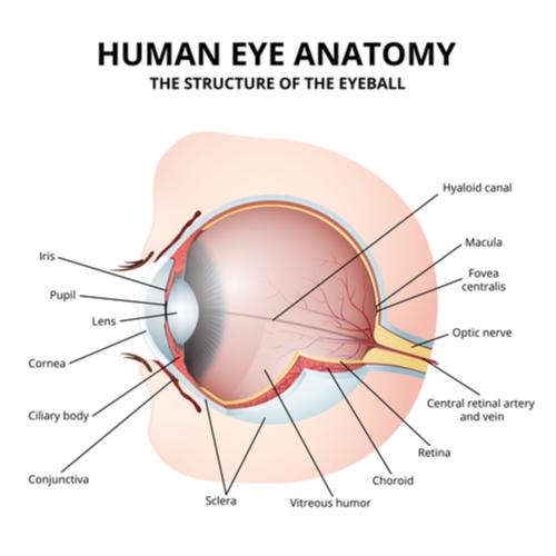 Sơ đồ giải phẫu mắt người cho thấy hố mắt.