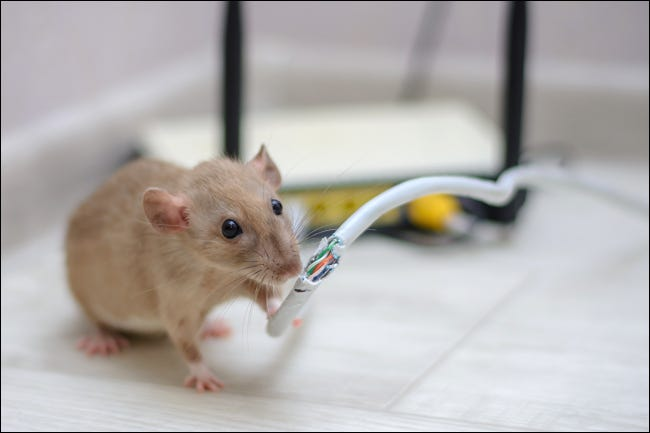 Mouse chewing through an Ethernet cable connected to a home router