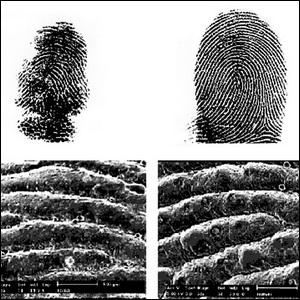 Comparison between koala and human fingerprints showing similarities